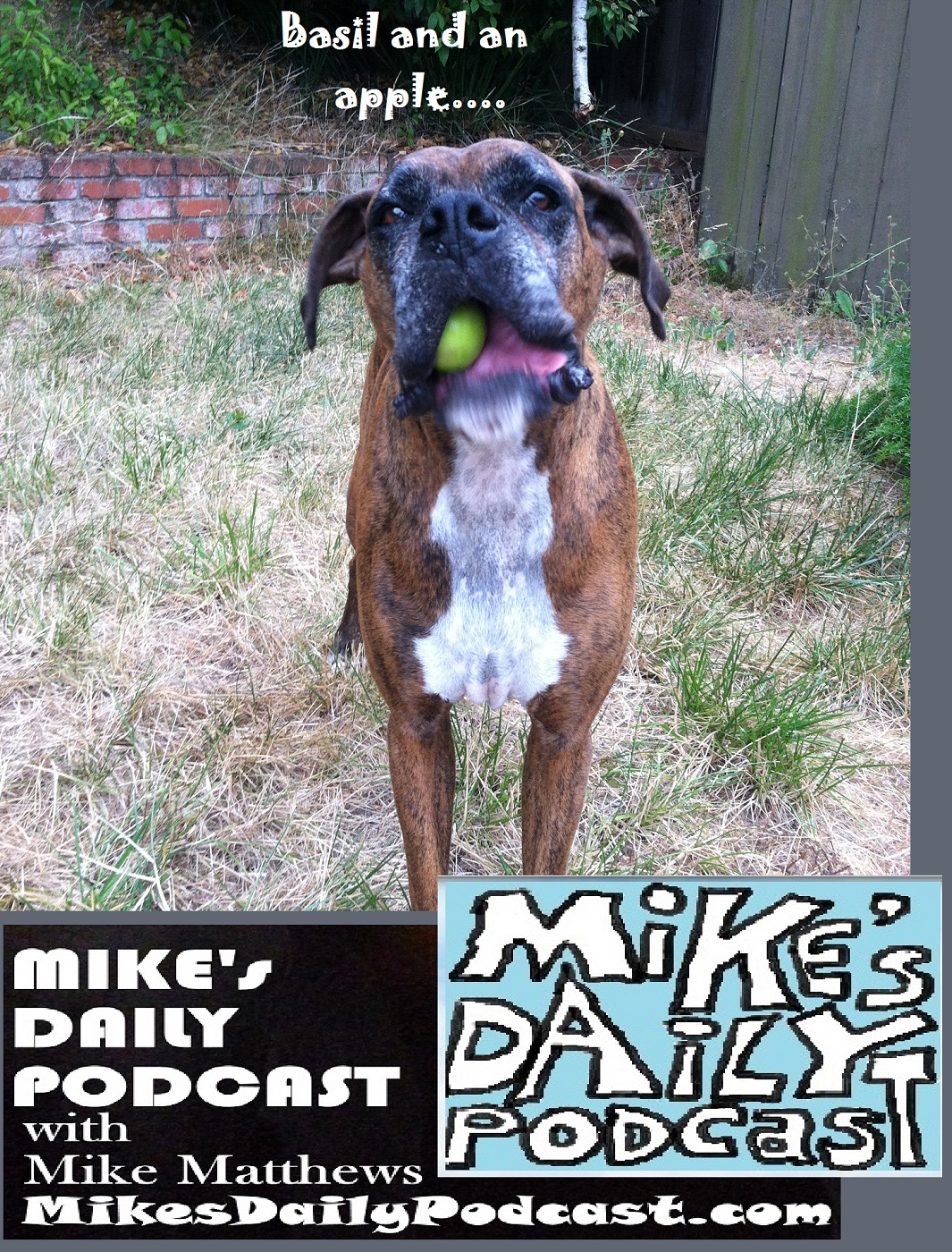 MIKEs DAILY PODCAST 1153 boxer eating apple