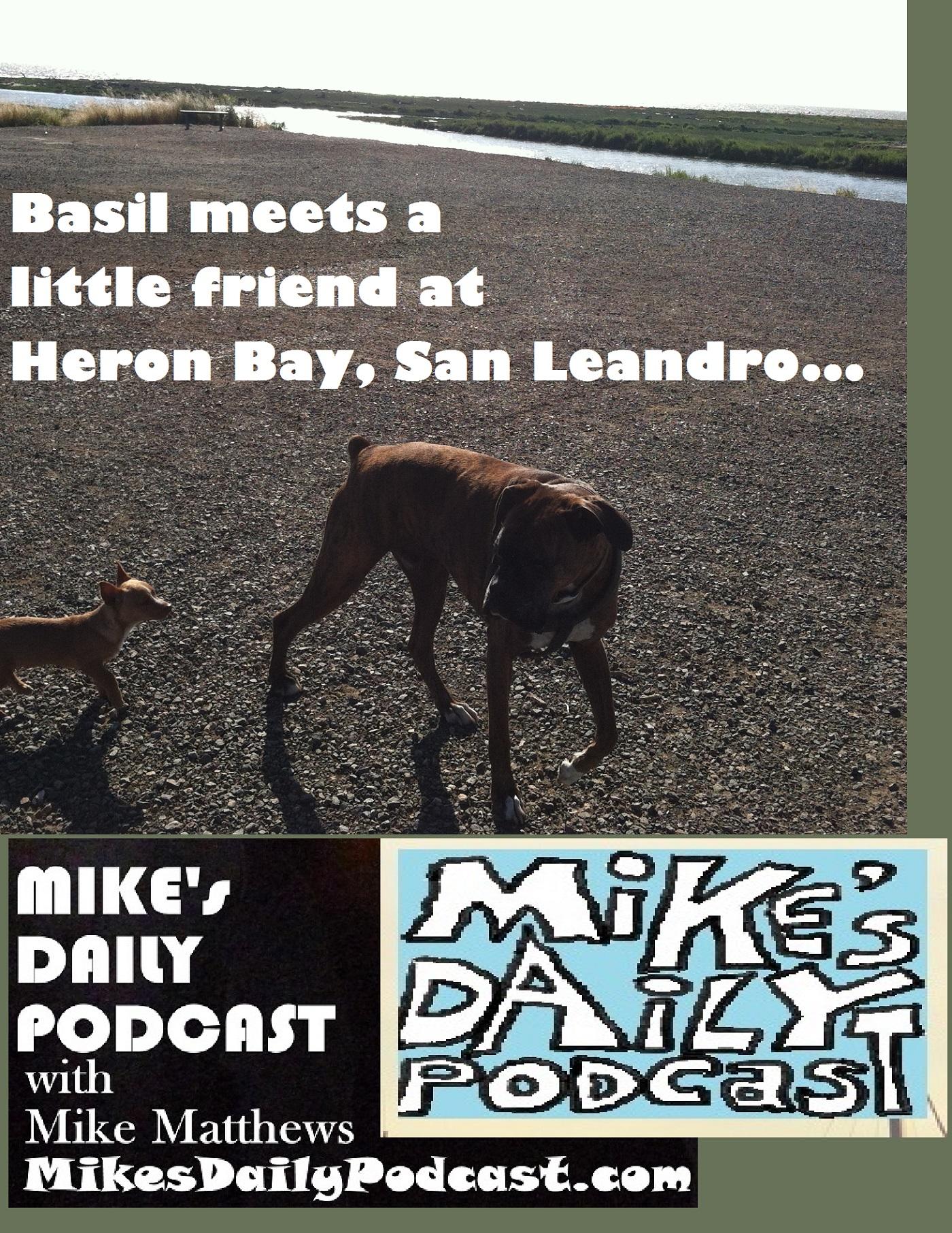mikes-daily-podcast-1182-basil-chihuahua-heron-bay